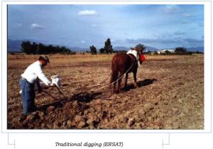 manual-digging-saffron-field